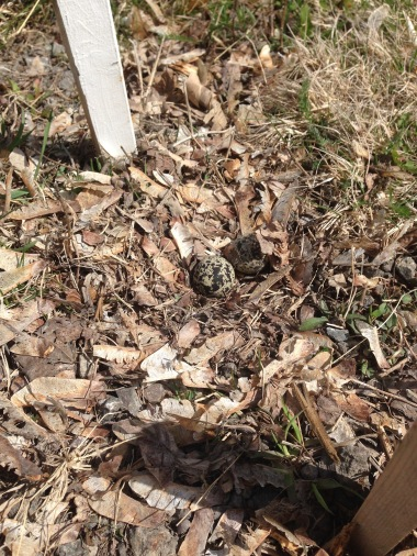 Killdeer eggs (2)