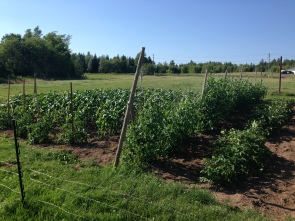 From Left: tomatoes/corn, sweet peas, red potatoes