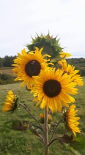 sunflowers-october2016